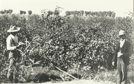 Dr. Chandler and David Fairchild with first crop of Egyptian Cotton, 1901